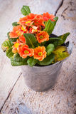 Pot of primula flower. On wooden background royalty free stock image
