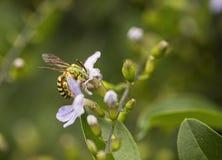 Pot pszczoła Fotografia Royalty Free