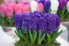 Pot of purple hyacinth in Keukenhof, Netherlands Royalty Free Stock Image