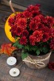 Pot of red chrysanthemum flowers Stock Photo