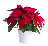 Pot of Red Poinsettia. A pot of red poinsettia isolated on white Stock Photo