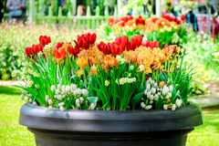 Pot with red tulips, daffodils, white grape hyacinths royalty free stock images