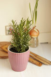 Pot of rosemary in the kitchen. A pot of rosemary in the kitchen Stock Photo
