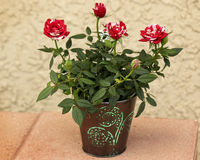 Pot of Roses. Pot of Red and white miniature Roses Stock Photo