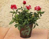Pot of Roses Stock Photo