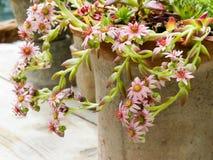 Pot with sedum plant Stock Photo