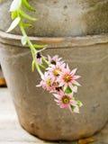 Pot with sedum plant Royalty Free Stock Photography
