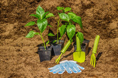 Pot with seedlings  garden tools equipment gloves background  bl Stock Photography