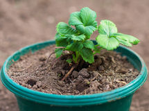 Pot with strawberry seedlings. Stock Image
