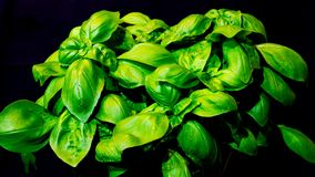 Sweet basil growing in time lapse. A pot of sweet basil ocimum basilicum growing in time lapse with black background stock video