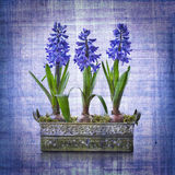 Pot of three hyacinths Royalty Free Stock Image