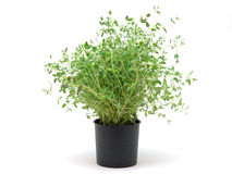Pot of thyme Royalty Free Stock Photos