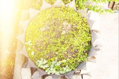 Pot of tires. Ochitan, sedum, grass and other green plants in a pot of tires. Top view royalty free stock photo
