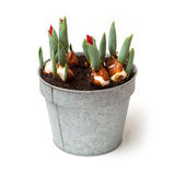Pot of Tulips Stock Photo