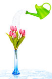 Pot with tulips isolated Royalty Free Stock Photography