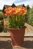 Pot of Tulips Stock Photos