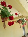 Pot van geranium het hangen in Saon-Klooster royalty-vrije stock afbeelding