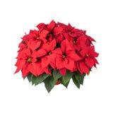 Pot van Heldere Rode Poinsettia Royalty-vrije Stock Afbeeldingen