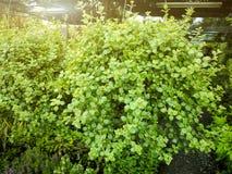 Pot vert de Dave avec le fond brouillé de jardin Photo stock