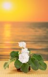 Pot with violet on bamboo cloth against the sea Royalty Free Stock Photos