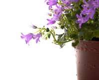 Pot of violet flowers. A pot of beautiful violet flowers isolated on white background Royalty Free Stock Image