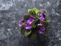The pot of violets on a decorative grey background. Top view of a potted flowering flower. Top view of a potted flowering flower Stock Images