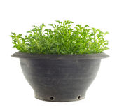 Pot of watercress - healthy vegetable isolated on white Stock Photos