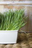 Pot of wheatgrass. Wheatgrass in white pot on natural shade background Royalty Free Stock Photo
