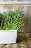 Pot of wheatgrass royalty free stock photo