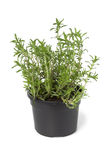 Pot with Winter savory Royalty Free Stock Photos