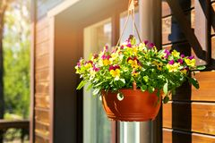Free Pot With Colorful Pansy Flowers Hanging On House Exterior Wall Royalty Free Stock Images - 146917799