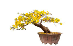 Pot of Yellow Apricot blossom closeup ( Hoa mai ) Stock Images