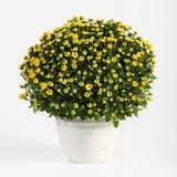 Pot of yellow flowering chrysanthemums stock images