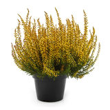 Pot of yellow heather isolated on white Royalty Free Stock Photos