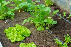 Potager organique avec l'irrigation photographie stock