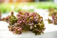 Potager rouge de salade de laitue s'élevant sur les usines hydroponiques de ferme de système sur l'eau sans sol photographie stock