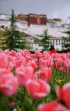 The potala palace and flowers Stock Photos