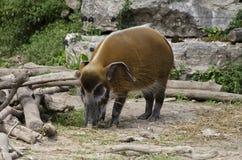 Potamochoerus porcus Fotografia Royalty Free