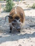 Potamochoerus porcus den Red River gödsvinet, också som är bekant som buskesvinet arkivfoton