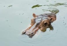 Potamus dell'ippopotamo Fotografia Stock Libera da Diritti