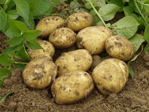 Potaoes. Ecological potatoes in a field Stock Photo