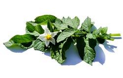 Potatisörtväxt som isoleras på vit bakgrund arkivfoto
