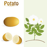 potatis stock illustrationer