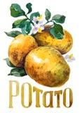 Potatis Handteckningsvattenfärg på vit bakgrund med titel stock illustrationer