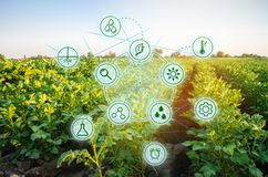 Potatis i fältet Höga teknologier och innovationer i agro-bransch Studiekvalitet av jord och skörden Vetenskapligt arbete och royaltyfria bilder