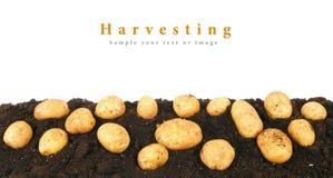 Potatis på jorden arkivfoton