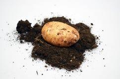 Potatis p? jorden arkivbild