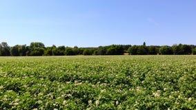 Potatis som växer på kolonier Rader av grönt som blommar potatisbuskar, växer på lantgårdfält vitt blekt - rosa blommablom stock video