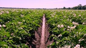 Potatis som växer på kolonier Rader av grönt som blommar potatisbuskar, växer på lantgårdfält vitt blekt - rosa blommablom arkivfilmer