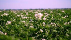 Potatis som växer på kolonier Rader av grönt som blommar potatisbuskar, växer på lantgårdfält vitt blekt - rosa blommablom lager videofilmer